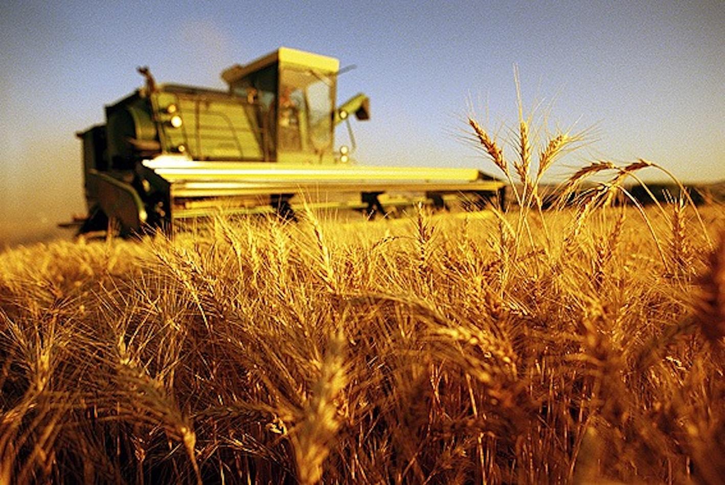 agricoltura frumento