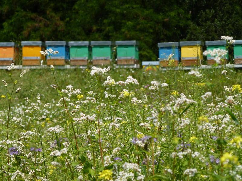 apicoltura1
