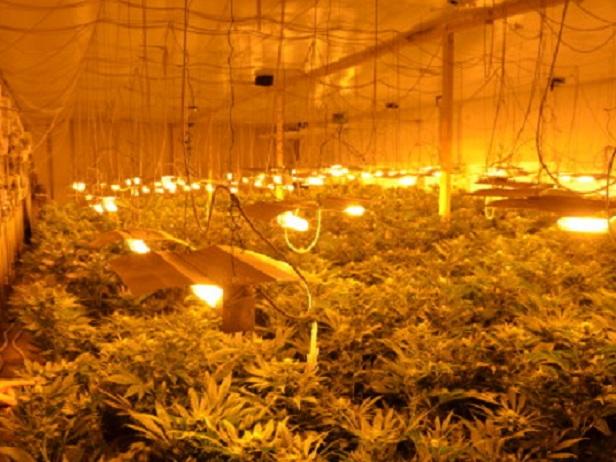 serra-marijuana2
